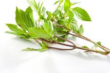 Free Twig Of Sweet Basil Stock Image - 19984531
