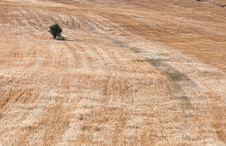 Free Olive Tree On A Wheat Field Stock Photos - 19985073
