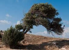 Free Olive Tree Royalty Free Stock Images - 19985089