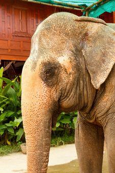 Free Big Elephant Royalty Free Stock Images - 19985929