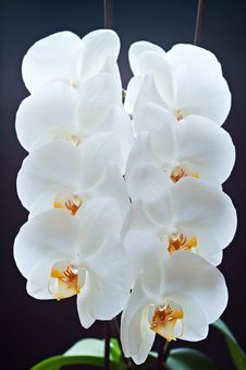 Free Orchids. Royalty Free Stock Photography - 19987547
