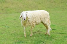 Free Sheep Stock Images - 19987714