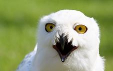 Free Snowy Owl Stock Image - 19988261