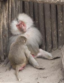 Free Ape Family Stock Photography - 19988292