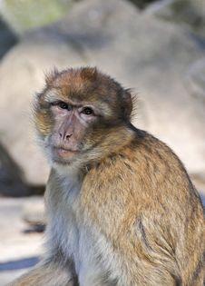 Little Ape Stock Photo
