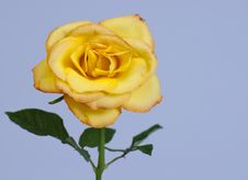 Free Yellow Rose Royalty Free Stock Photography - 19989377