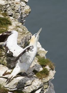 Free Gannet Royalty Free Stock Images - 19989829