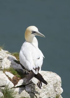 Free Gannet Royalty Free Stock Photography - 19989867