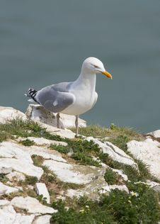 Free Herring Gull Royalty Free Stock Image - 19989896