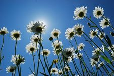 Free Daisies Stock Photography - 19989992