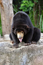 Free Malayan Sun Bear Royalty Free Stock Image - 19992866