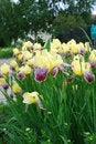 Free Iris Flowers Stock Photography - 19993252