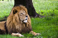 Free Lion Under Tree Royalty Free Stock Photography - 19995777