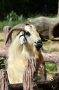 Free Goat  In The Farm Royalty Free Stock Photos - 19999368