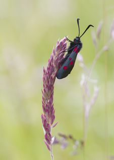 Free 5-spot Burnet Stock Images - 19990114