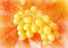 Free Vine Grape - Vintage Stylized Picture Stock Images - 19990994