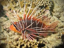 Free Red Lionfish On Coral Reef Royalty Free Stock Image - 19991916