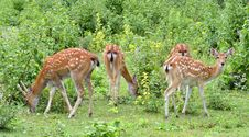 Sika Deer Herd Royalty Free Stock Photos