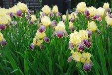 Free Iris Flower Royalty Free Stock Images - 19993279