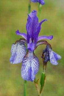 Free Iris Flower Stock Photography - 19993502