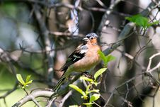 Free Chaffinch Male In Forest Stock Images - 19994604