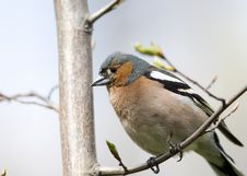 Free Chaffinch On Tree Close Up Royalty Free Stock Images - 19994619