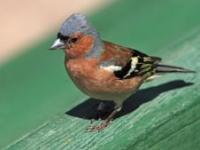 Free Chaffinch Male Portrait Stock Photo - 19994630
