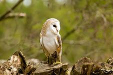 Free Barn Owl At Rest On A Tree Stump Stock Photo - 19995990