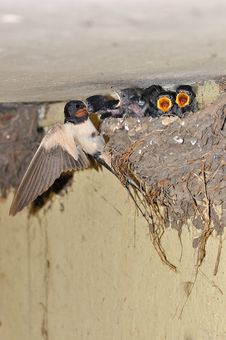 Free Swallows Stock Photography - 19996132