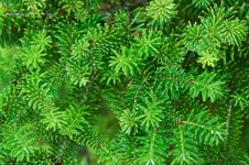 Free Decorative Fir Branches Stock Images - 19996994