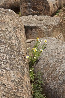 Free Daisies Among Roman Ruins Stock Images - 19997854