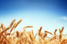 Free Wheat Stock Photography - 19999272