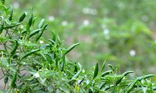 Free Fresh Green Chili Stock Images - 19999274