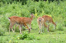 Free Sika Deer Herd Stock Images - 19999504