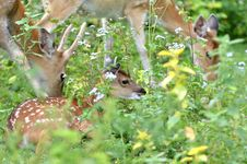 Free Young Sika Deer Royalty Free Stock Photo - 19999525