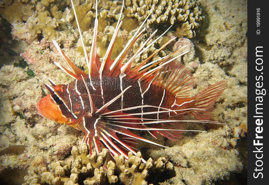 Red lionfish on coral reef