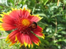 Bumblebee On Blanket Flower Royalty Free Stock Image