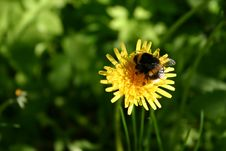 Free Bumble-bee On A Dandelion Royalty Free Stock Photo - 20685