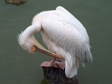 Free Pelican Grooming Royalty Free Stock Photo - 22385
