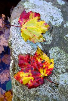 Free Maple Leaf Pair Royalty Free Stock Photography - 26737