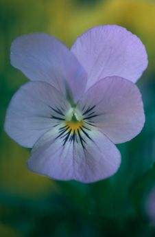Free Blue Pansy Royalty Free Stock Photography - 26797