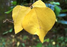 Free Yellow Fall Leaves Stock Images - 27284