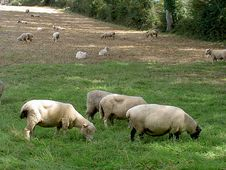 Free Grazing Sheep Stock Image - 27401