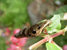 Free Elephant Hawkmoth Caterpillar Stock Images - 27404