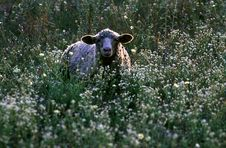 Free Sheep Stock Images - 27804