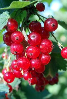 Free Red Currant Royalty Free Stock Photos - 28528
