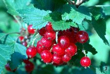 Free Red Currant II Stock Photos - 28773