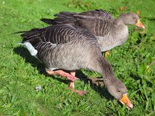 Free Geese Royalty Free Stock Photography - 29687