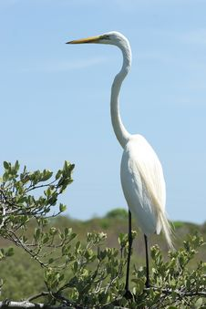 Free Egret Stock Photography - 200062