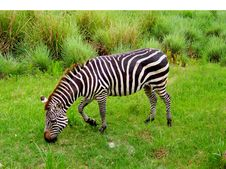 Free Zebra Graze Stock Photography - 200142